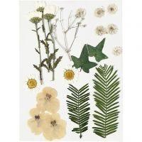 Gepresste Blüten und Blätter, Naturweiß, 19 sort./ 1 Pck